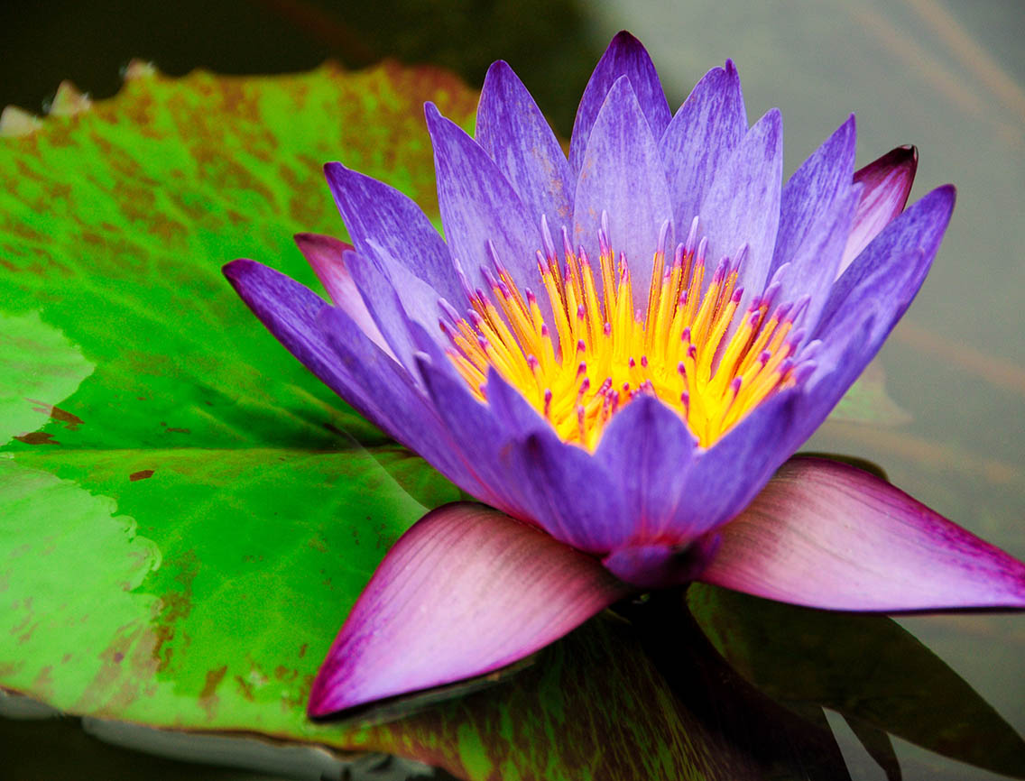 Close up photo of a purple water lily and large green leaf